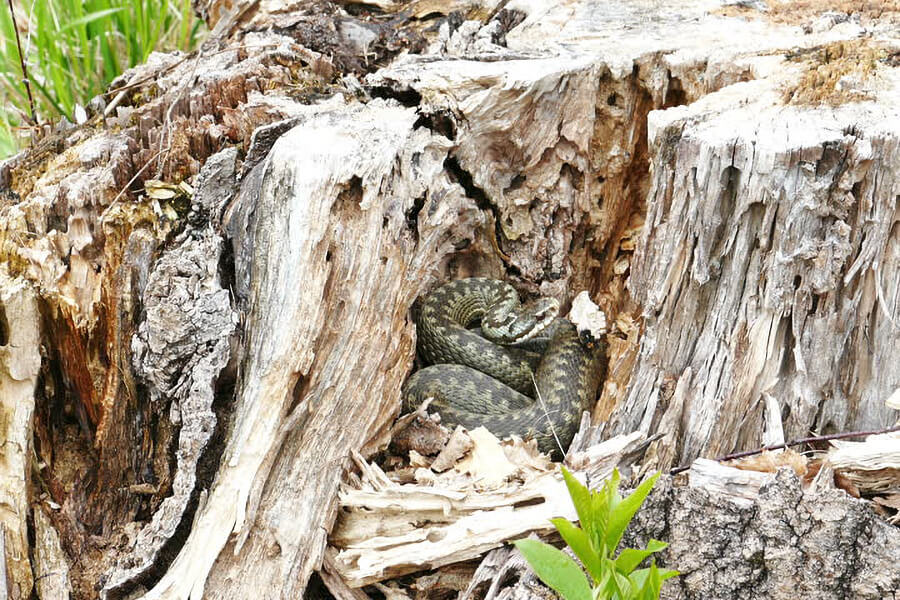 Snake in a Tree Stump
